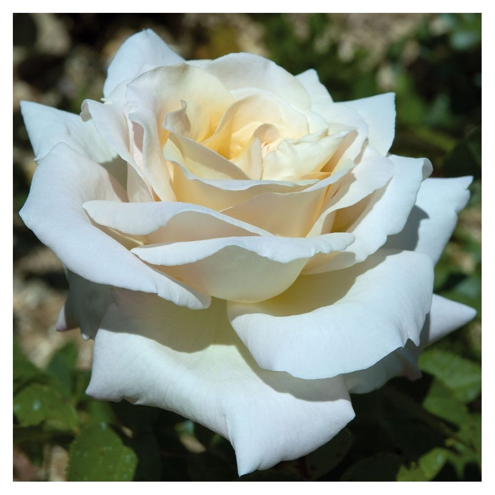 Rosier tige 39 jardins de bagatelle 39 meimafris rosier for Rosier jardin de france