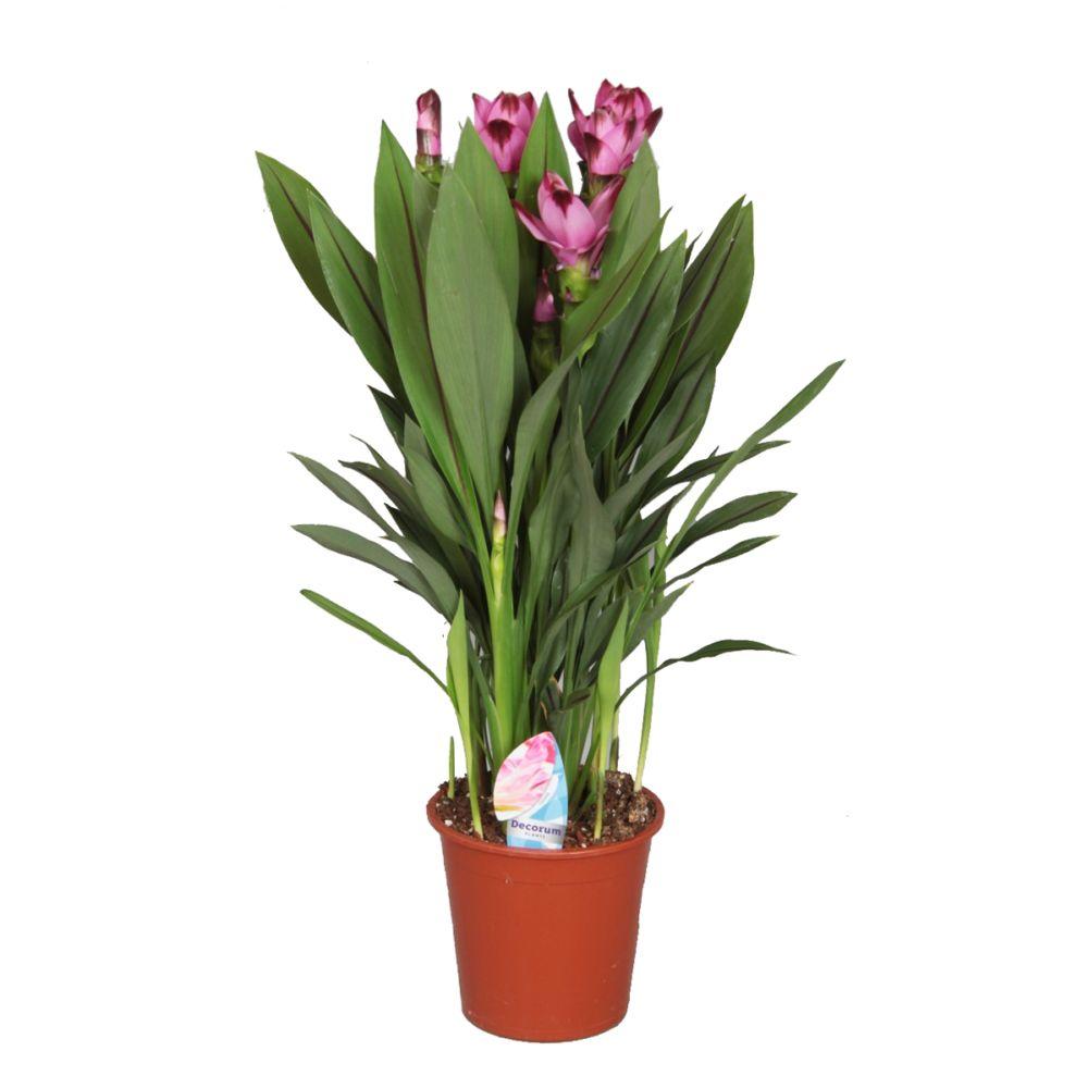 Curcuma siam splash plantes et jardins for Plante curcuma