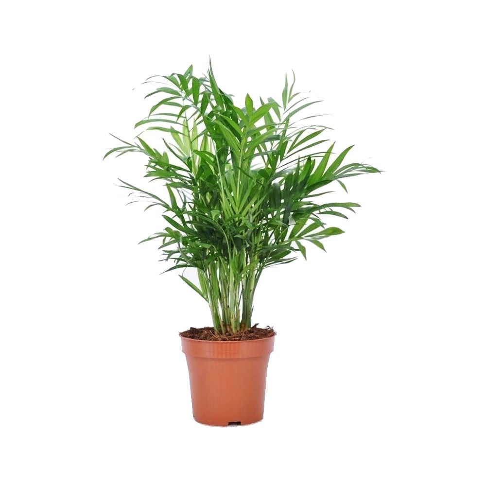 palmier nain chamaedorea elegans plantes et jardins. Black Bedroom Furniture Sets. Home Design Ideas