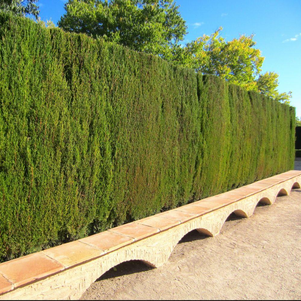 kit de haie haie de cypr s pour 10 m plantes et jardins. Black Bedroom Furniture Sets. Home Design Ideas