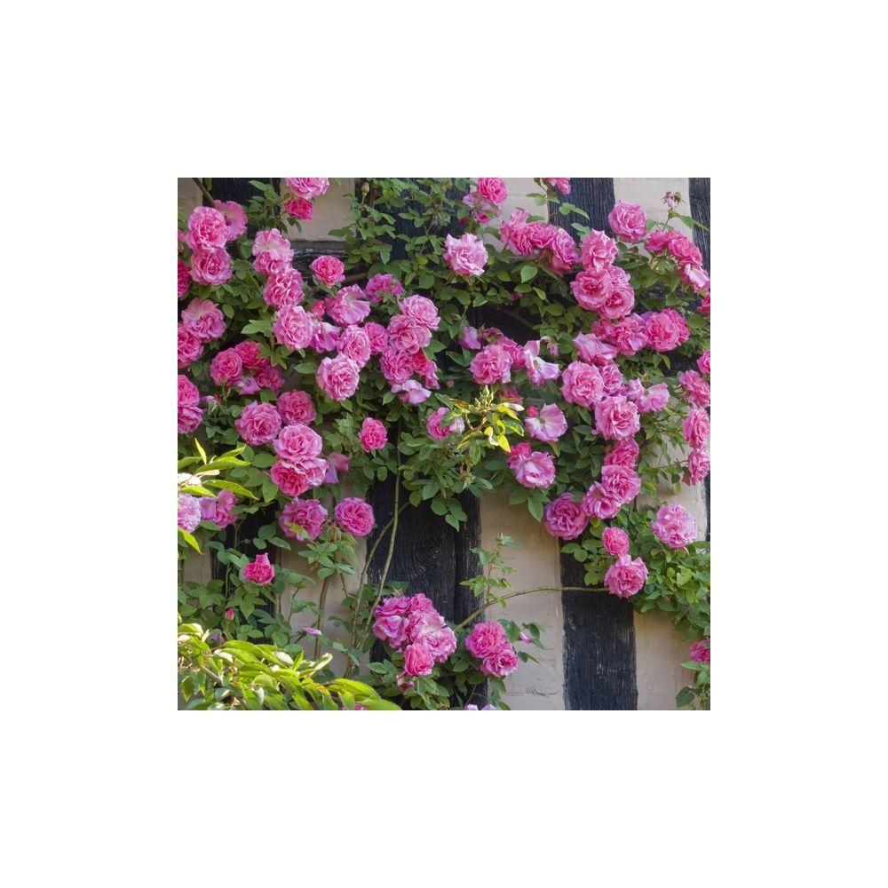 Rosier ancien grimpant 39 z phirine drouin 39 rosier guillot plantes et jardins - Bouturer un rosier ancien ...