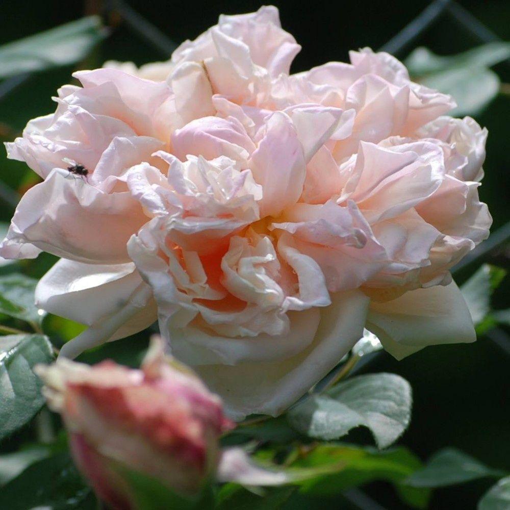 rosier ancien grimpant 39 gloire de dijon 39 rosier guillot plantes et jardins. Black Bedroom Furniture Sets. Home Design Ideas