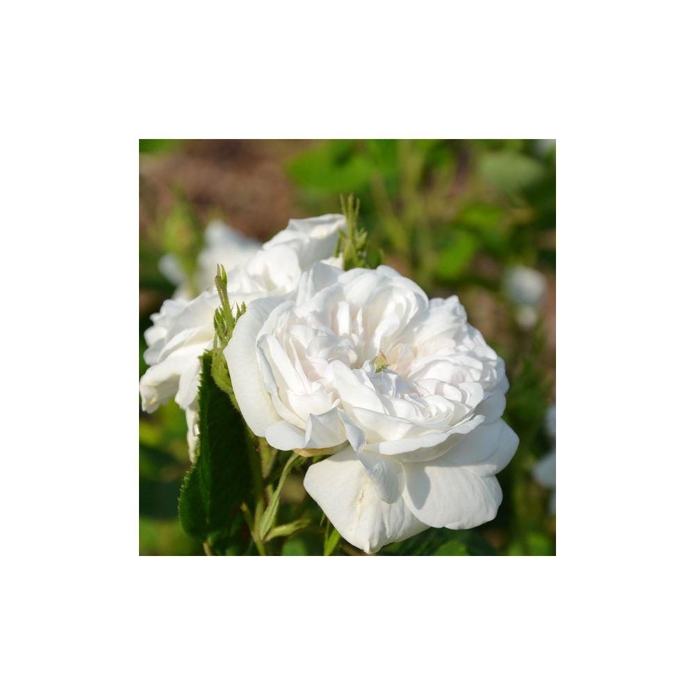 Rosier ancien 39 mme hardy 39 rosier guillot plantes et - Bouturer un rosier ancien ...