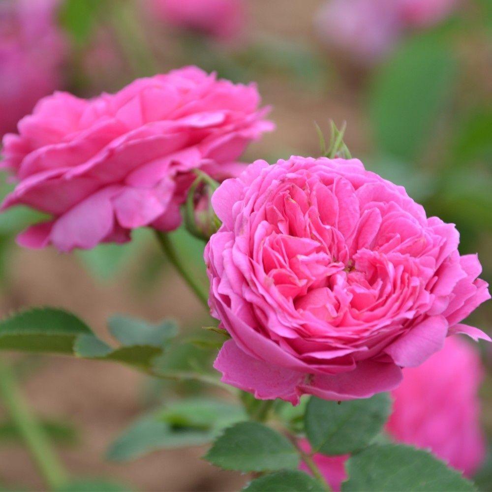Rosier ancien 39 catherine guillot 39 rosier guillot plantes et jardins - Bouturer un rosier ancien ...
