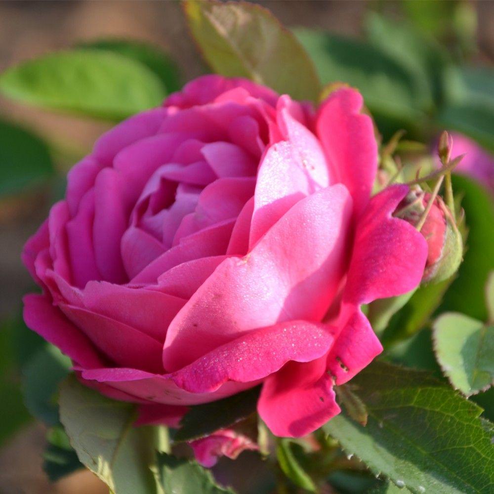 Rosier ancien 39 antoine ducher 39 rosier guillot plantes - Bouturer un rosier ancien ...