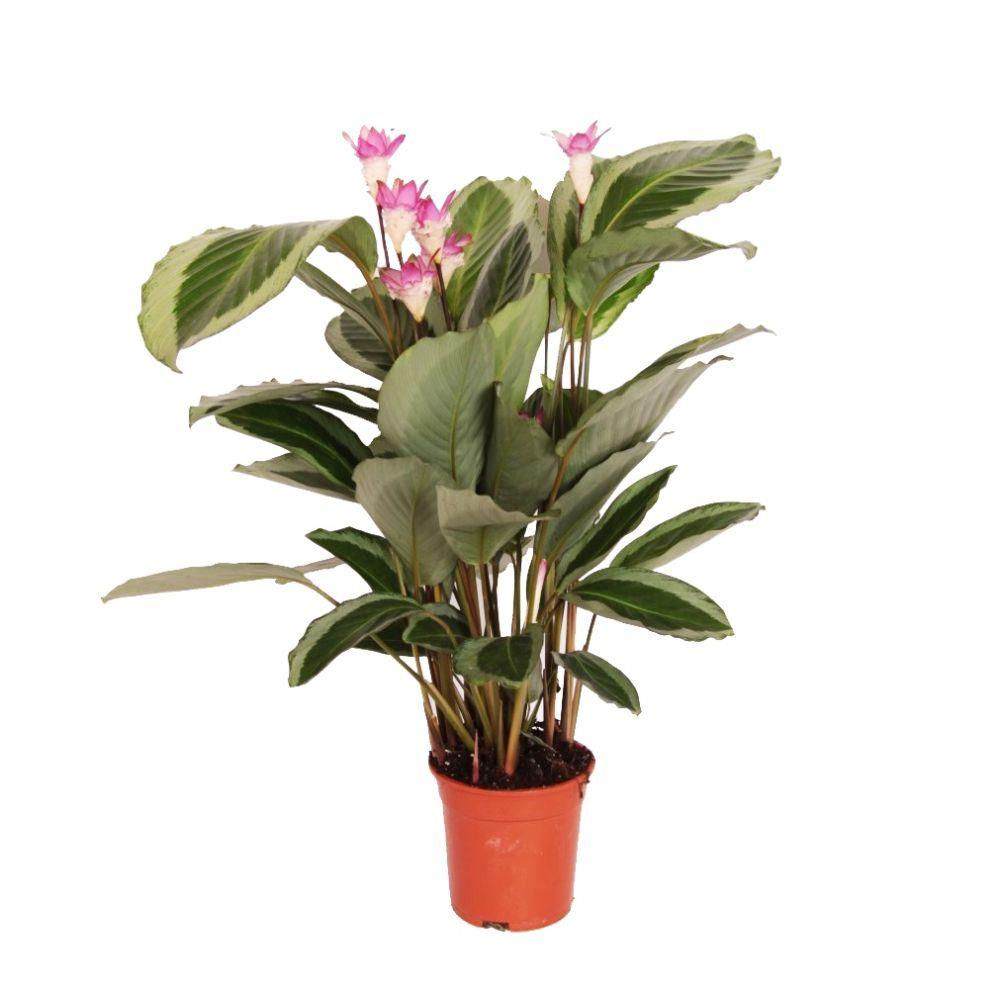 Calathea bicajoux gekko plantes et jardins for Plante et jardin catalogue