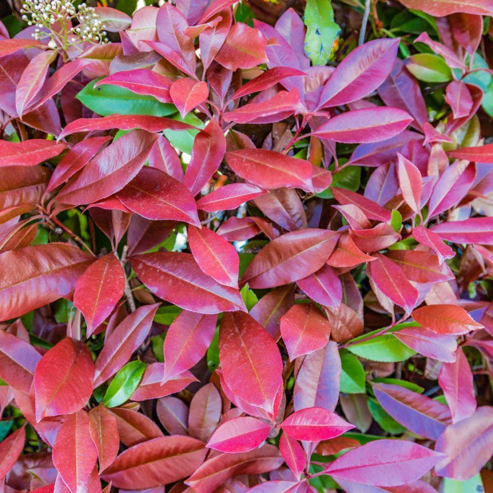 Kit de haie fleurie pour 10 m plantes et jardins - Haie fleurie toute l annee ...