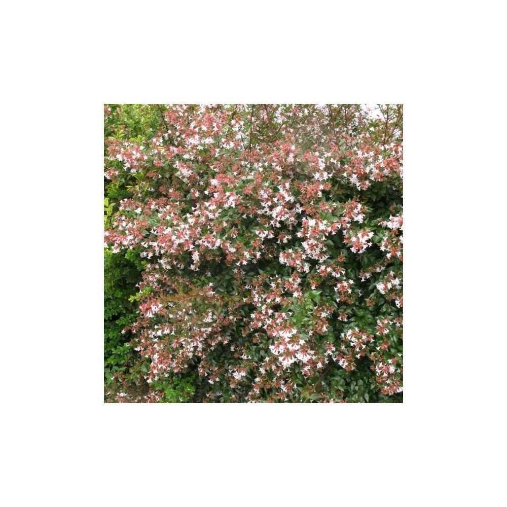 Kit de haie fleurie pour 10 m plantes et jardins for Vente de fleurs pour jardin