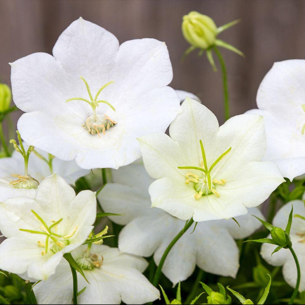 Campanula carpatica alba plantes et jardins - Plante de balcon ombre ...