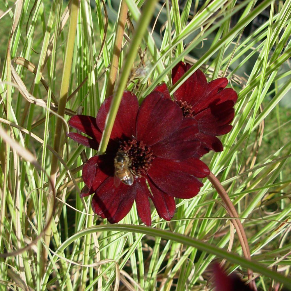 Cosmos atrosanguineus chocamocha plantes et jardins - Plante et jardins ...