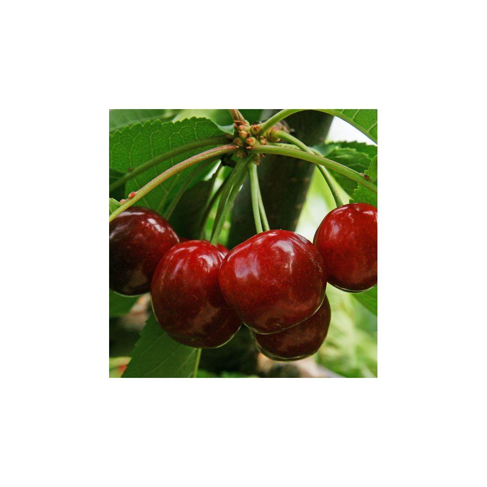 cerisier burlat fruitier georges delbard plantes et jardins. Black Bedroom Furniture Sets. Home Design Ideas