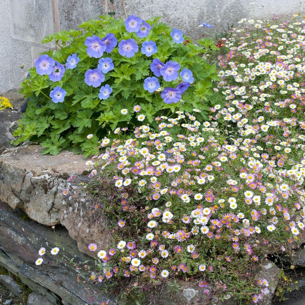 Erigeron de karvinski plantes et jardins for Plantes et jardins adresse