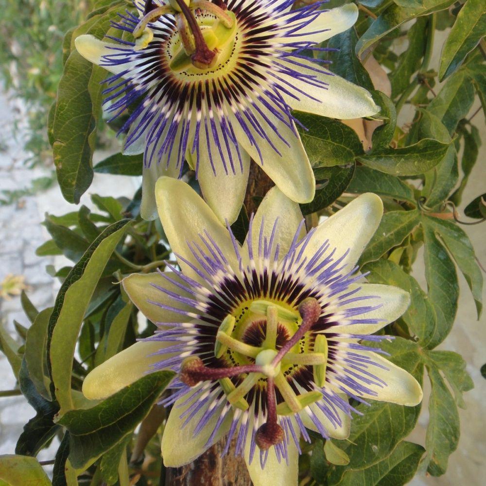 Passiflore caerulea plantes et jardins - Plante et jardins ...