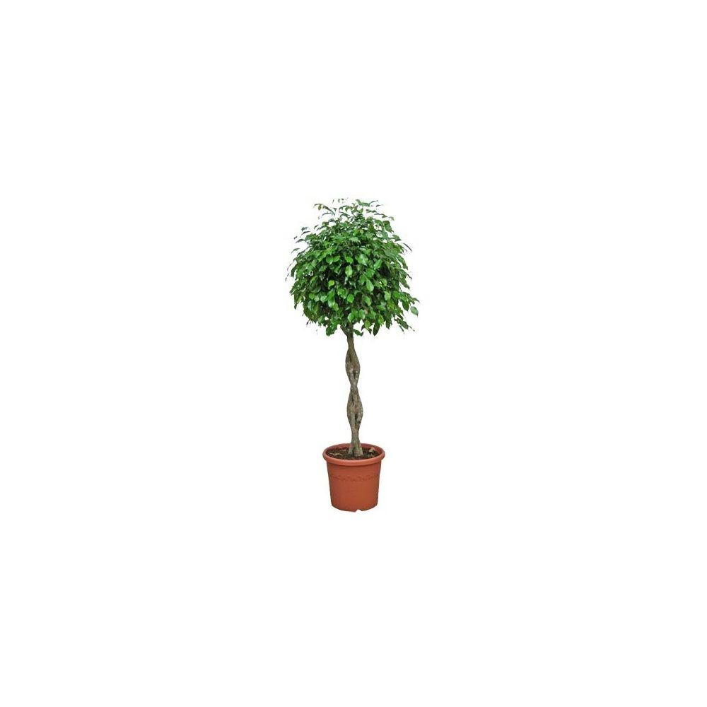 ficus benjamina tress hauteur 180 cm t te 60 70 cm plantes et jardins. Black Bedroom Furniture Sets. Home Design Ideas