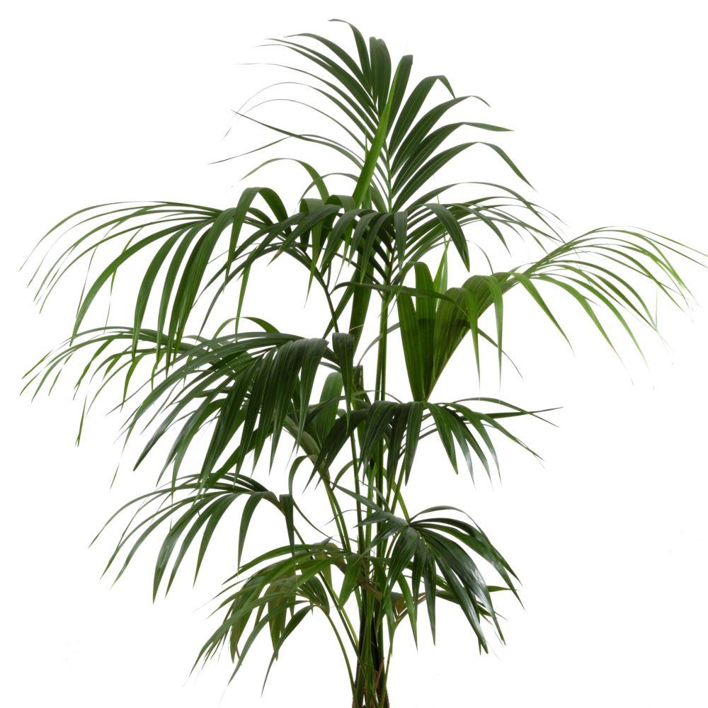 Kentia 180 200 cm plantes et jardins - Plante d interieur grimpante ...