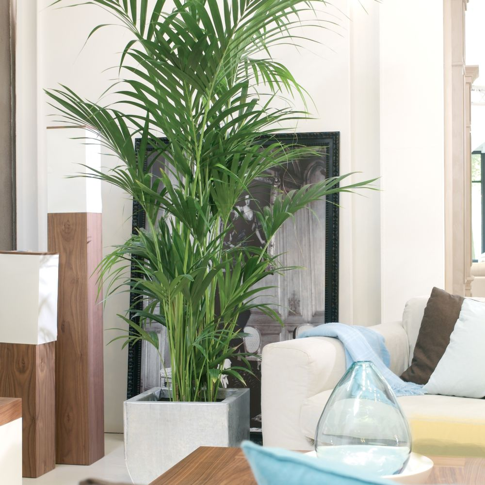 Kentia 180 200 cm plantes et jardins - Piante da interno alte ...