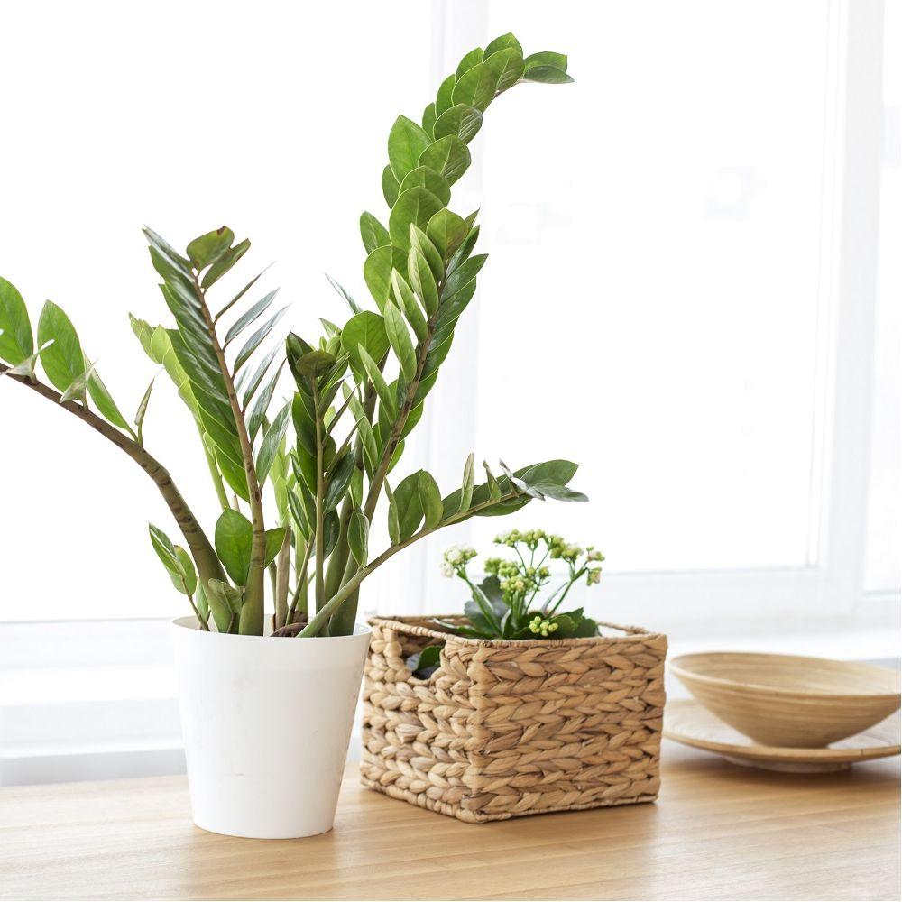 zamioculcas plantes et jardins. Black Bedroom Furniture Sets. Home Design Ideas