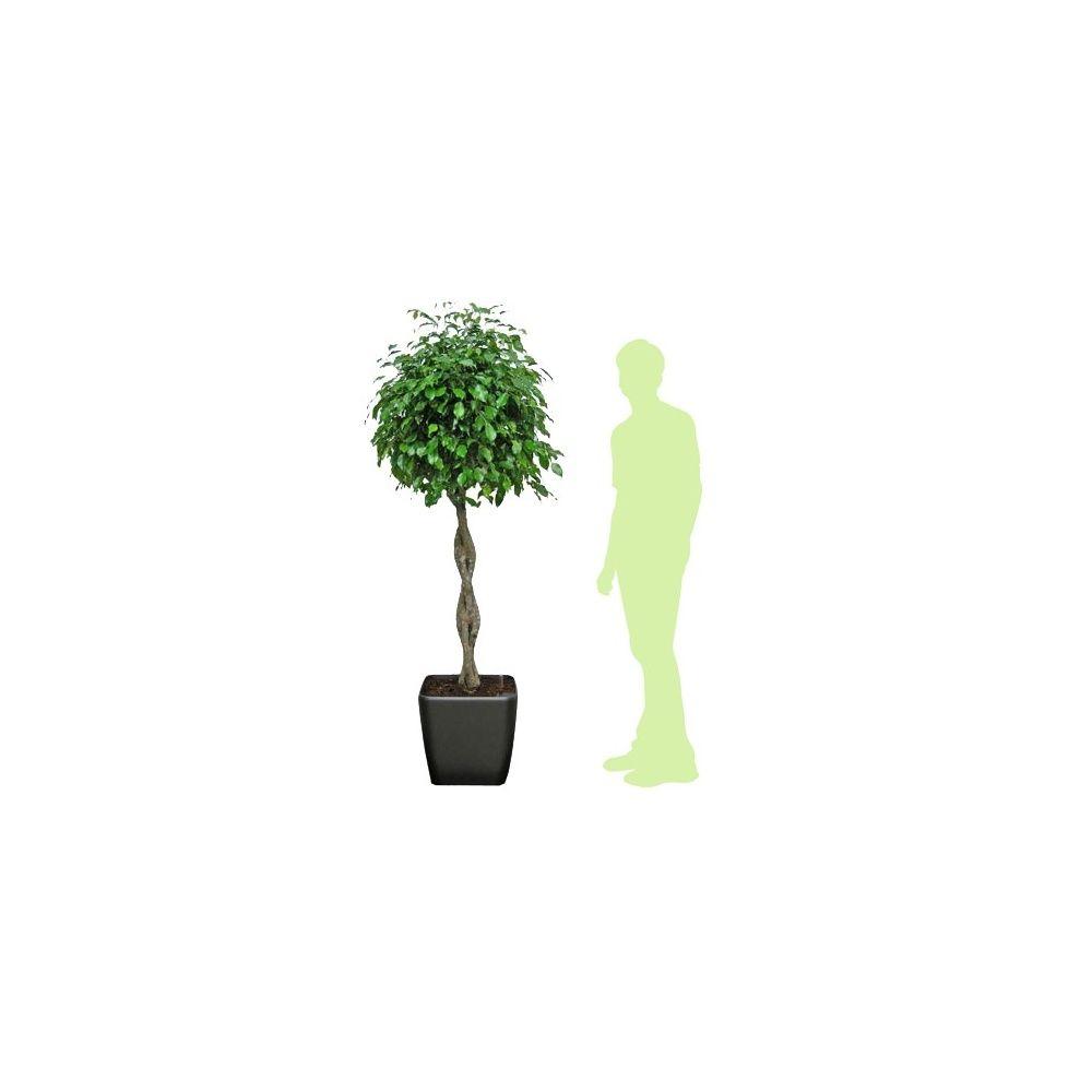 ficus tress hauteur 180cm rempot dans pot lechuza quadro anthracite plantes et jardins. Black Bedroom Furniture Sets. Home Design Ideas