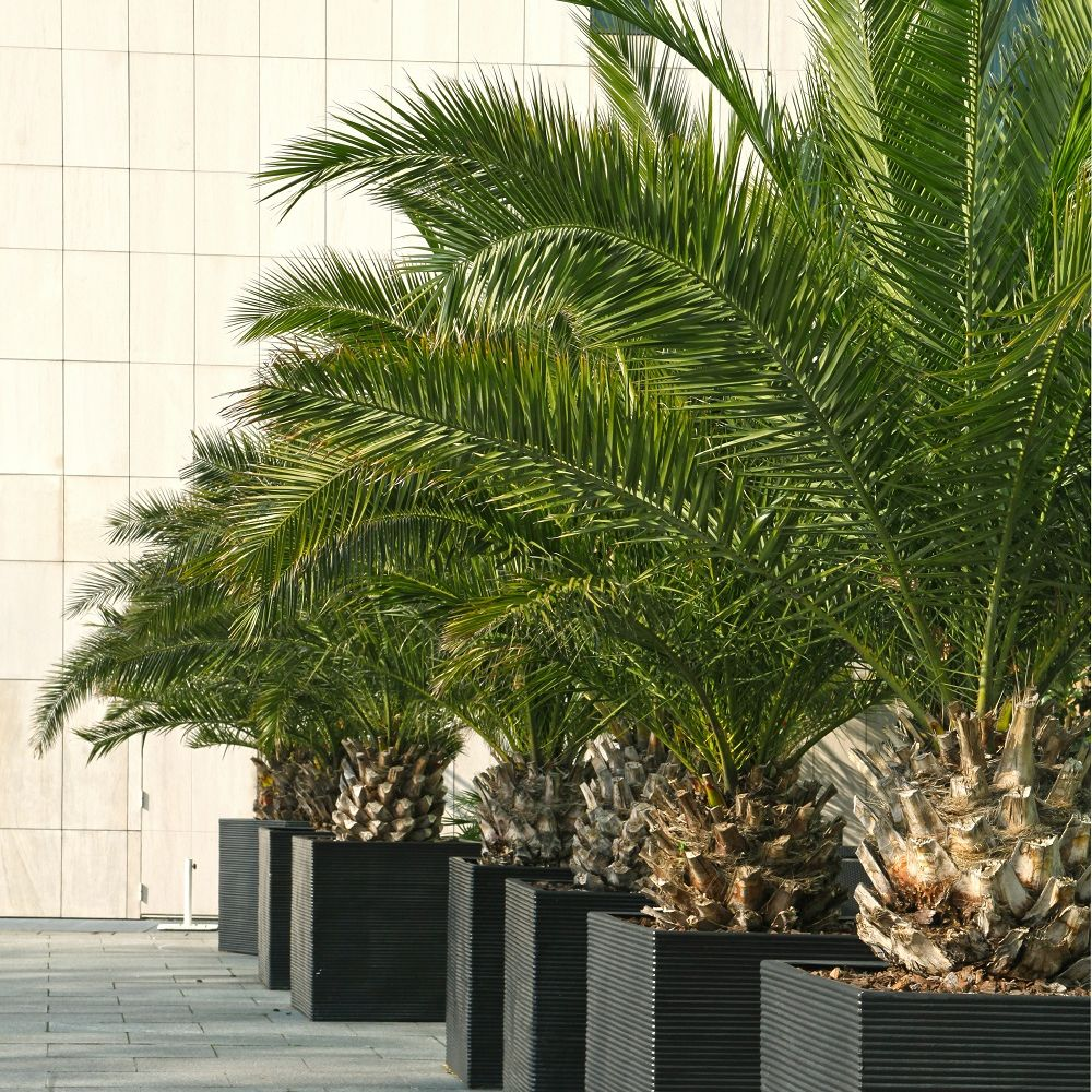 palmier phoenix canariensis plantes et jardins. Black Bedroom Furniture Sets. Home Design Ideas