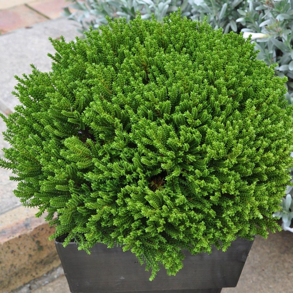 V ronique arbustive 39 green globe 39 plantes et jardins for Plante et jardins