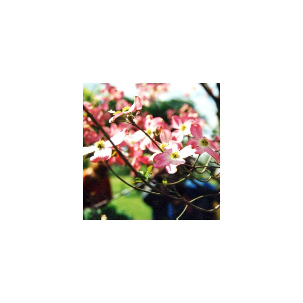 Cornouiller fleurs rouges plantes et jardins for Fleurs plantes et jardins