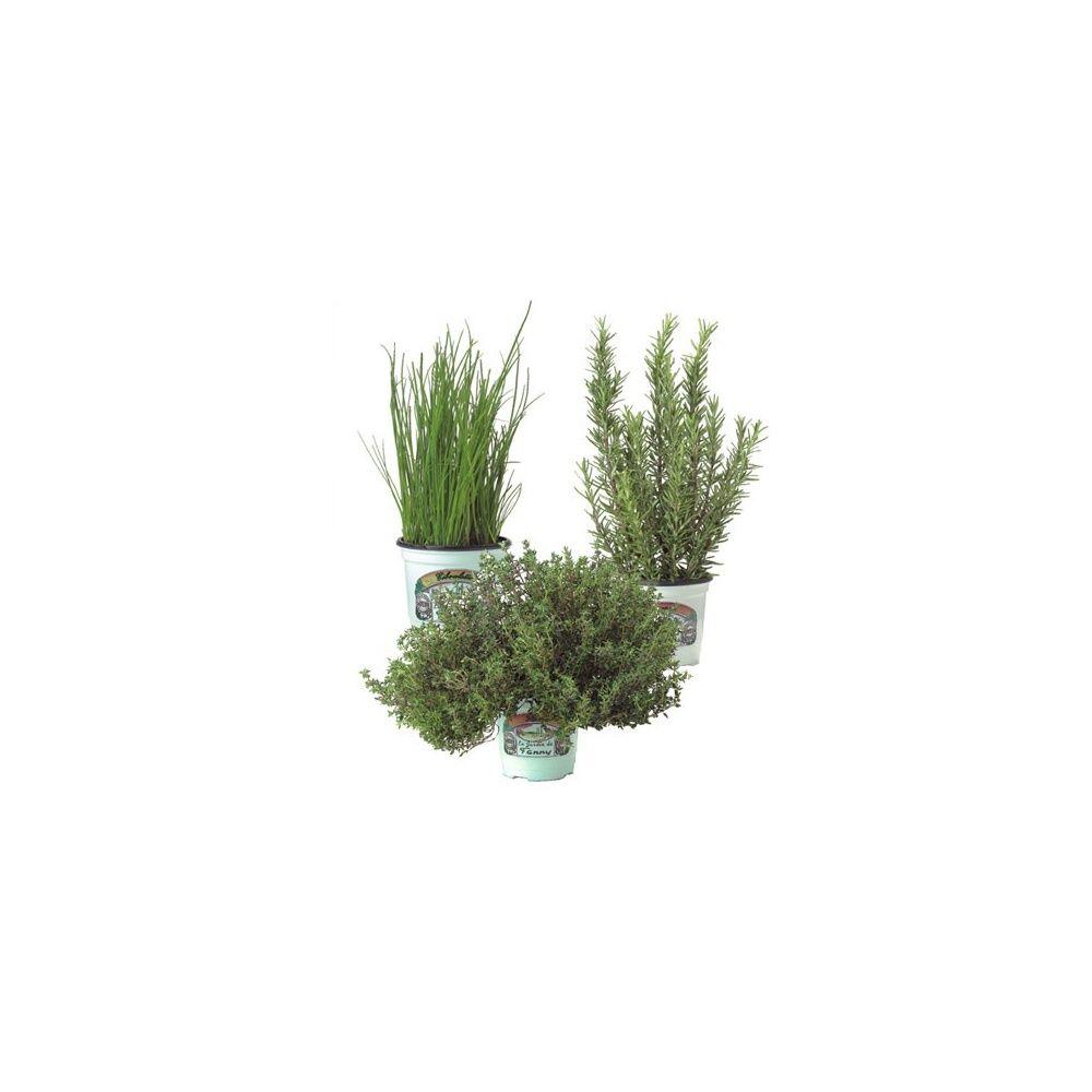 assortiment thym romarin ciboulette plantes et jardins. Black Bedroom Furniture Sets. Home Design Ideas