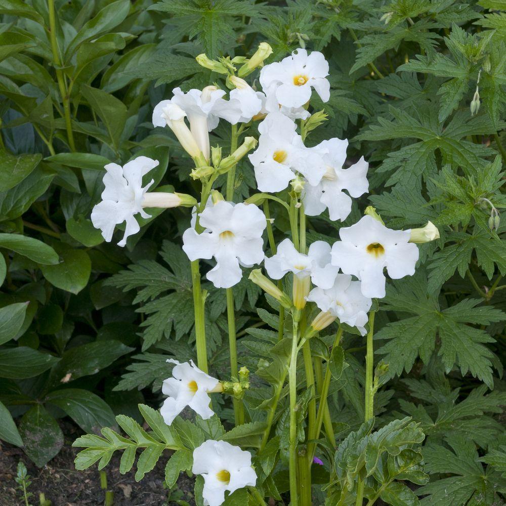 Incarvillea delavayi plantes et jardins for Plante et jardins