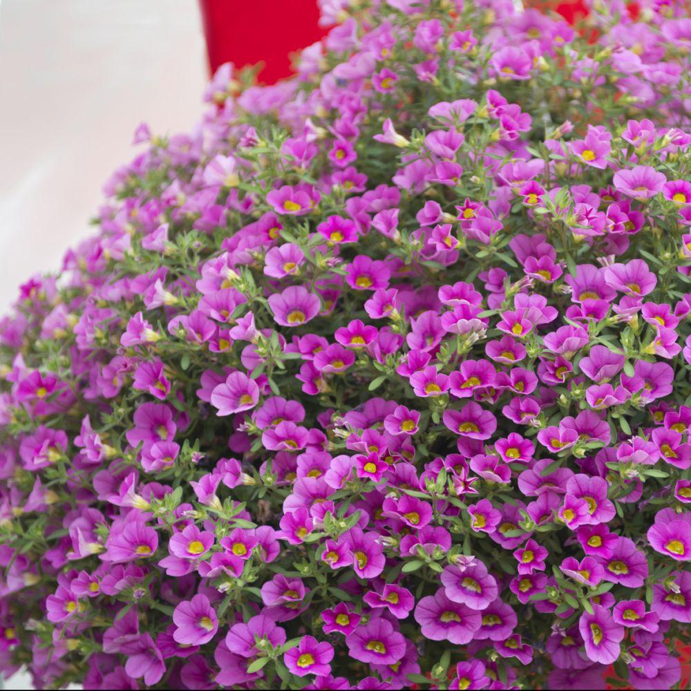 calibrachoa million bells rose plantes et jardins. Black Bedroom Furniture Sets. Home Design Ideas