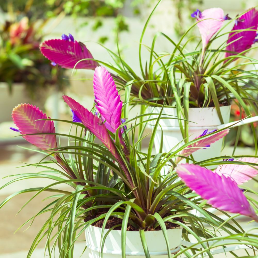 Fille de l 39 air tillandsia cyanea plantes et jardins for Plante fille de l air