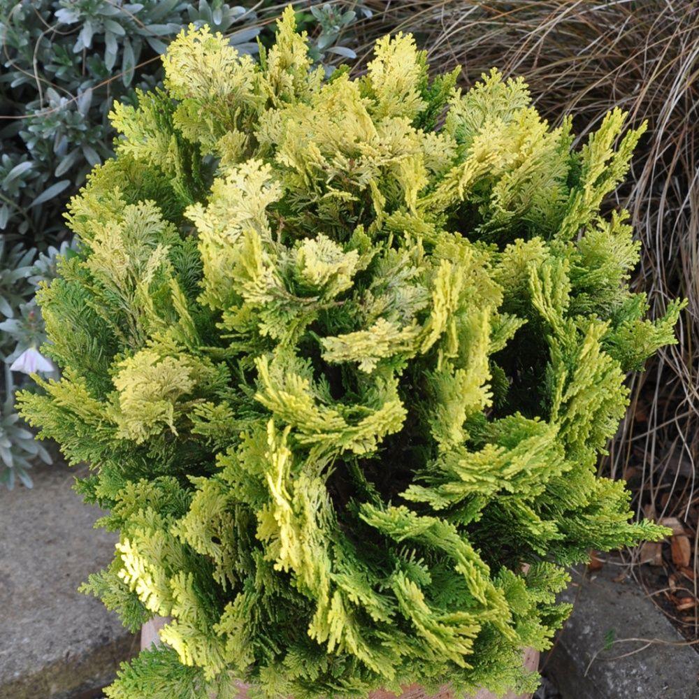 faux cypr s de lawson 39 minima aurea 39 plantes et jardins. Black Bedroom Furniture Sets. Home Design Ideas