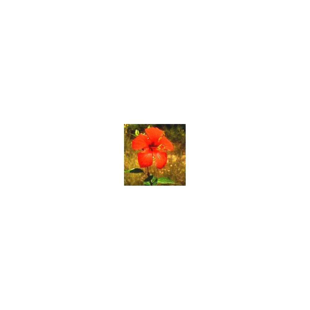 hibiscus rose de chine urougeu with hibiscus de jardin persistant. Black Bedroom Furniture Sets. Home Design Ideas