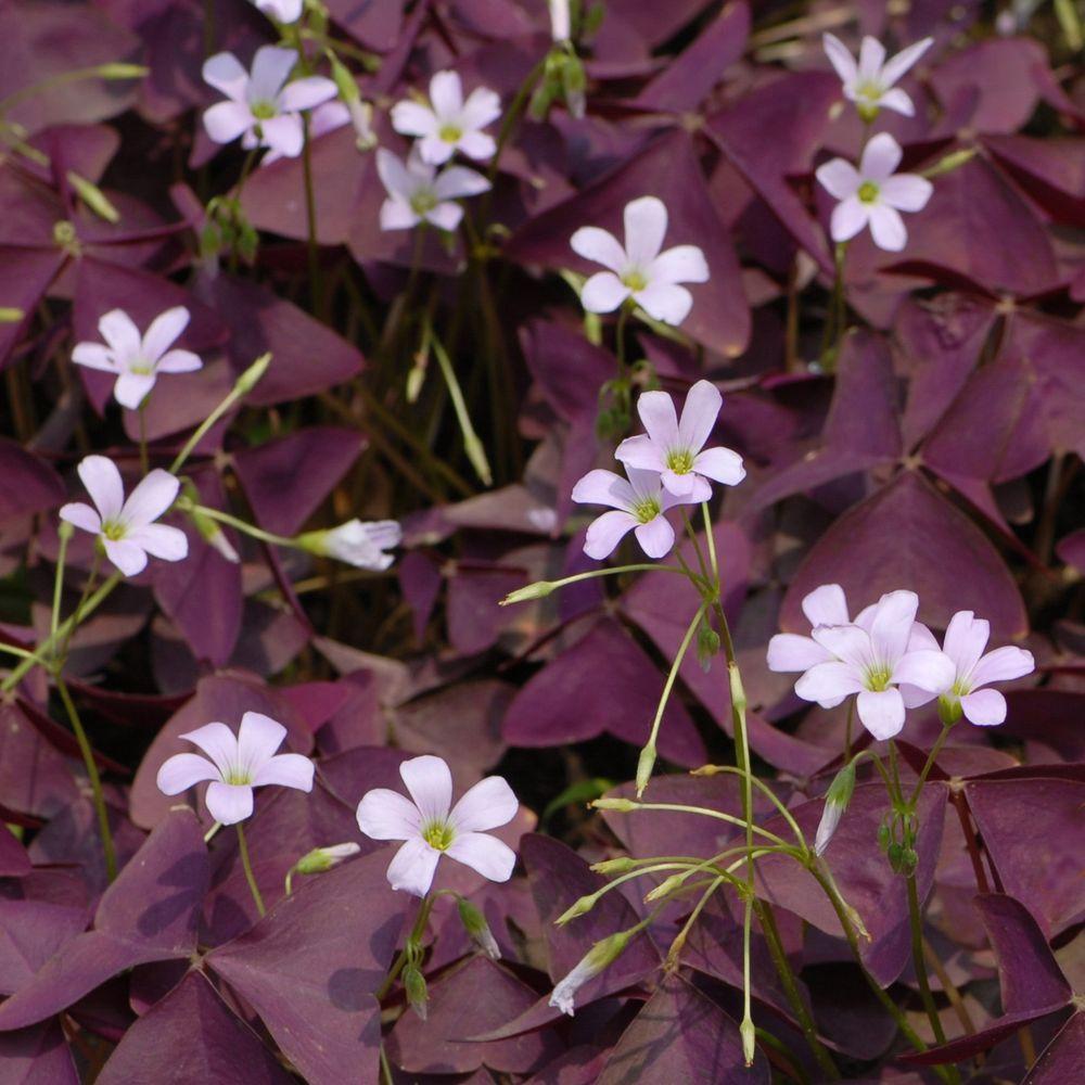 Oxalis triangularis pourpre plantes et jardins for Plante pour tous