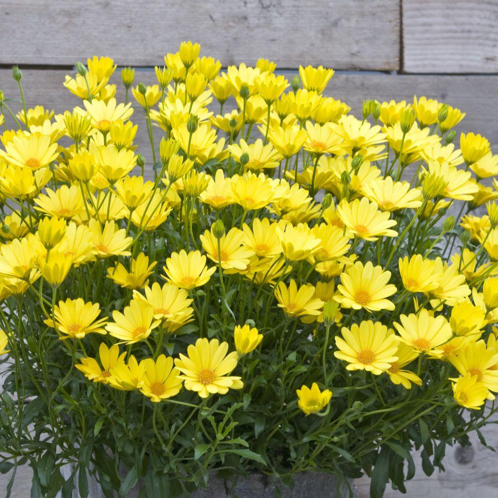 Dimorphoteca jaune plantes et jardins for Plante et jardin catalogue