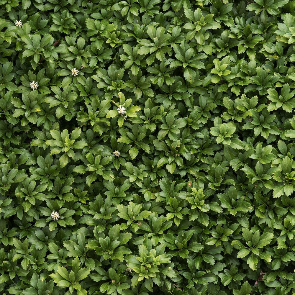 Pachysandra terminalis plantes et jardins for Plantes et jardins adresse
