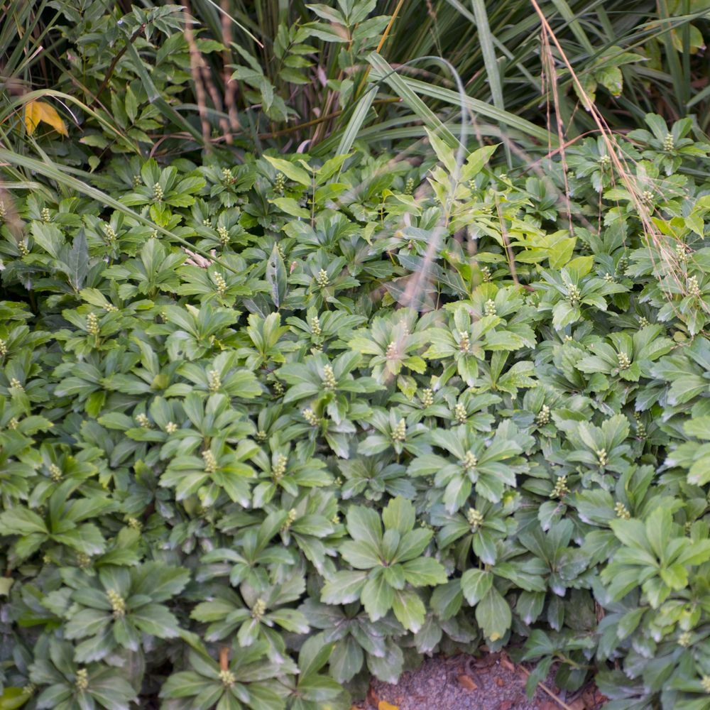 plante tapissante interesting camomille romaine camomille noble grande camomille chamaemelum. Black Bedroom Furniture Sets. Home Design Ideas