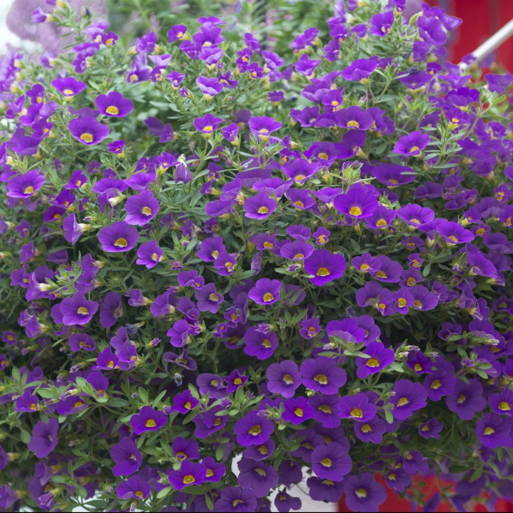 calibrachoa million bells violet plantes et jardins. Black Bedroom Furniture Sets. Home Design Ideas