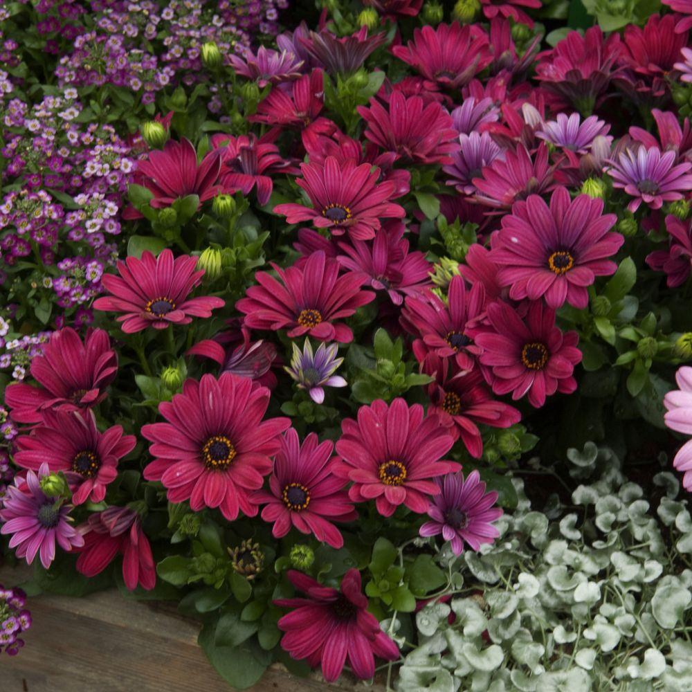 Dimorphoteca rouge plantes et jardins for Plantes et jardins adresse