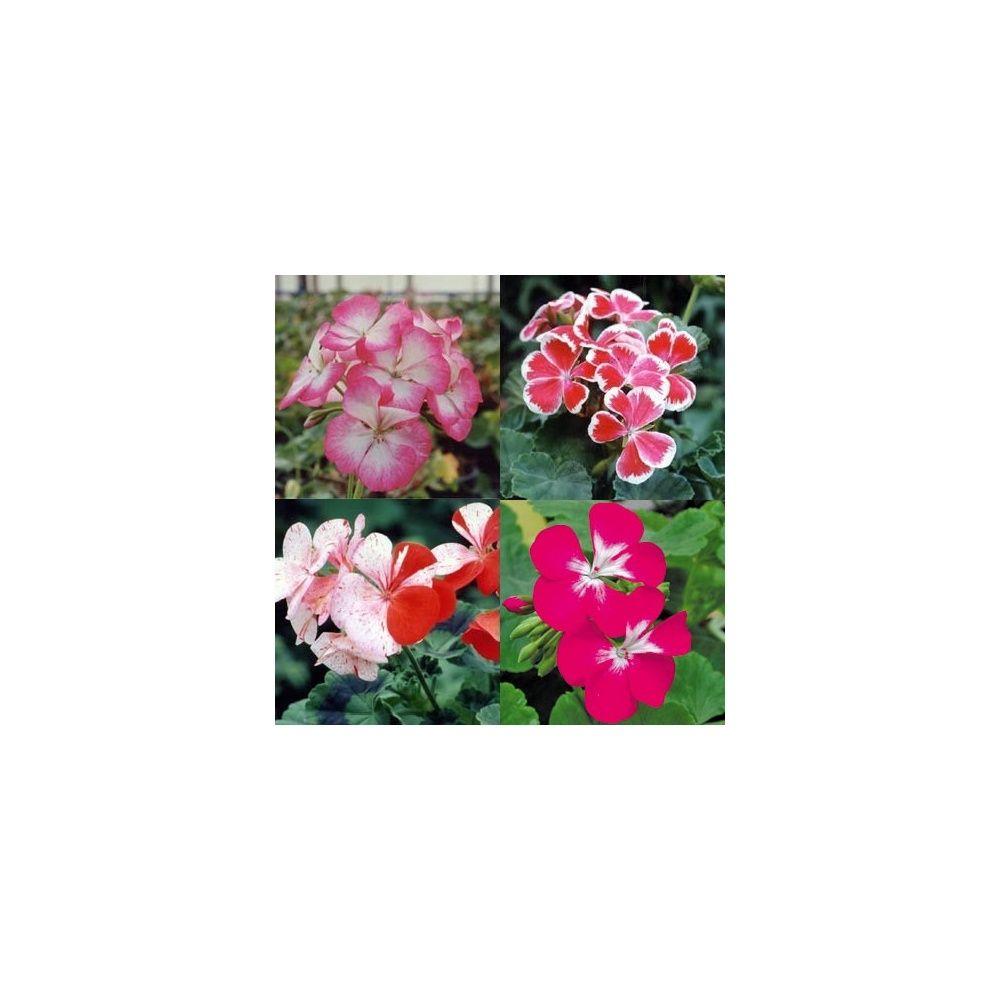 Assortiment de 4 p largoniums fleurs bicolores plantes for Fleurs plantes et jardins