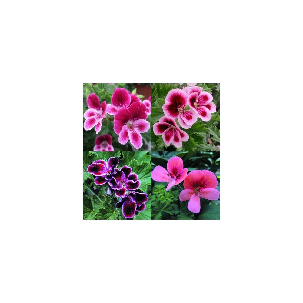 Assortiment de 4 p largoniums fleurs de pens es for Fleurs plantes et jardins