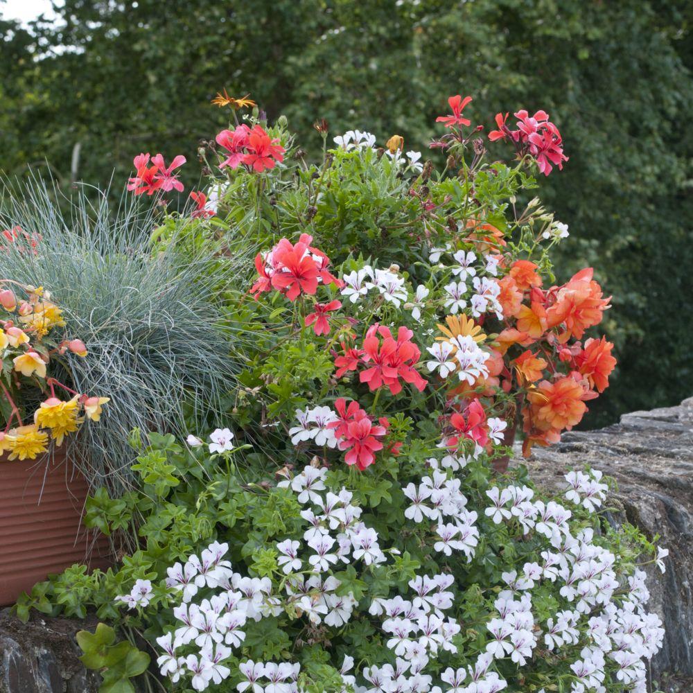 geranium lierre blizzard plantes et jardins. Black Bedroom Furniture Sets. Home Design Ideas