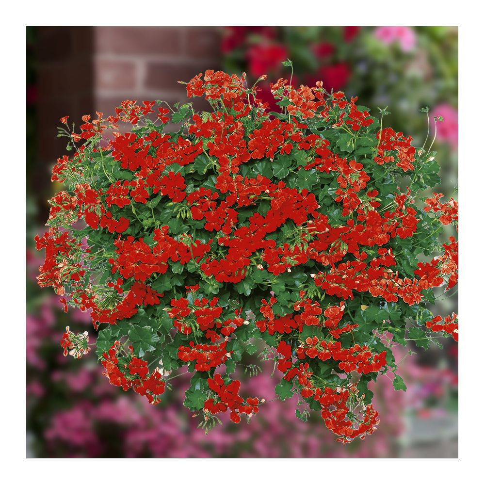 Geranium lierre blizzard rouge plantes et jardins for Geranium d interieur