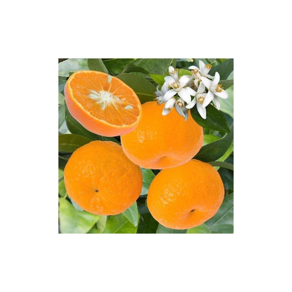mandarinier plantes et jardins. Black Bedroom Furniture Sets. Home Design Ideas