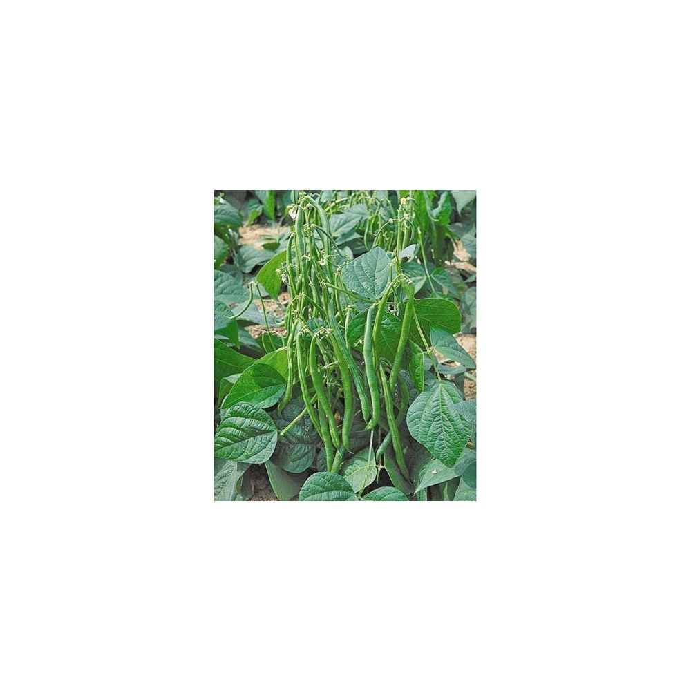haricot nain vert maxi plantes et jardins. Black Bedroom Furniture Sets. Home Design Ideas
