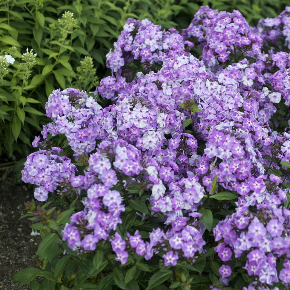 phlox paniculata blue boys plantes et jardins. Black Bedroom Furniture Sets. Home Design Ideas