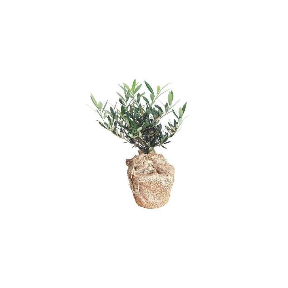 olivier en pot cadeau 40cm livraison express plantes et jardins. Black Bedroom Furniture Sets. Home Design Ideas