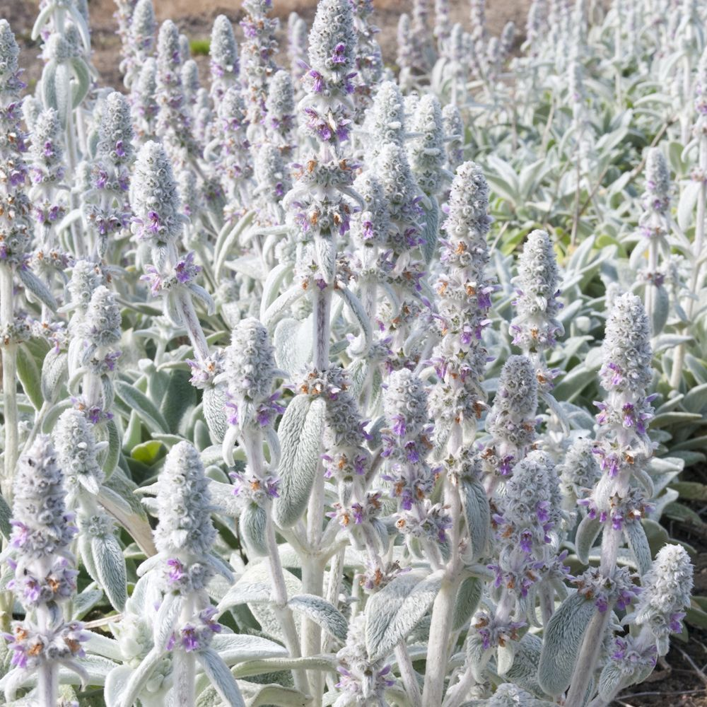 Stachys lanata oreille d 39 ours plantes et jardins - Plante et jardins ...