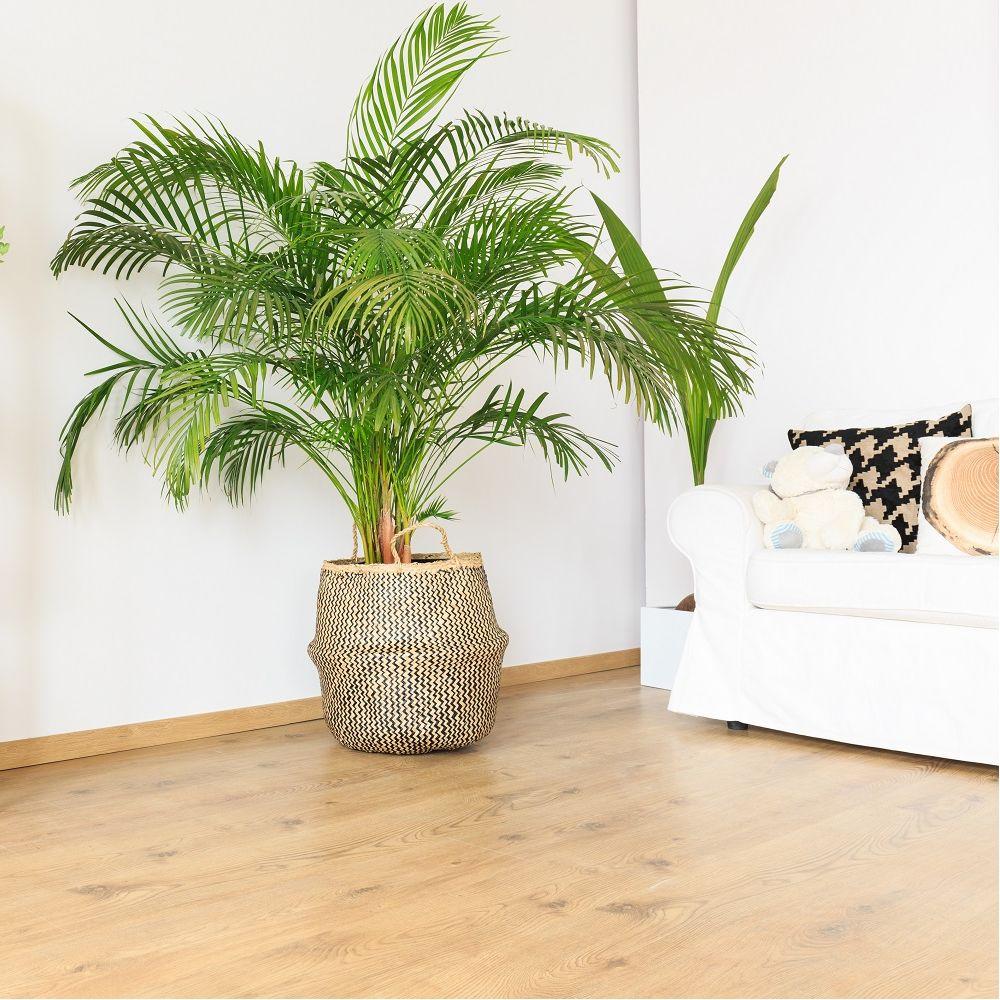 areca plantes et jardins. Black Bedroom Furniture Sets. Home Design Ideas