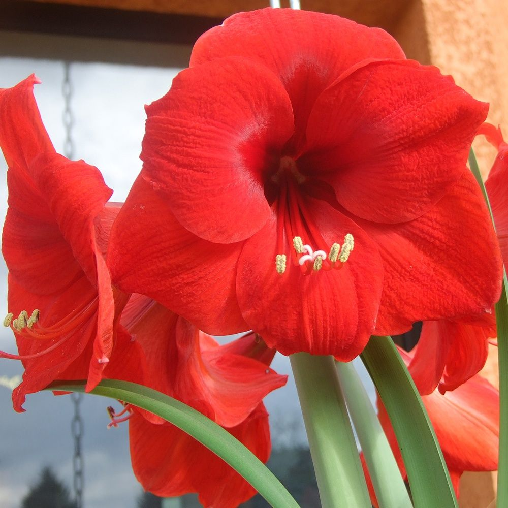 Amaryllis rouge plantes et jardins for Amaryllis ne fleurit pas