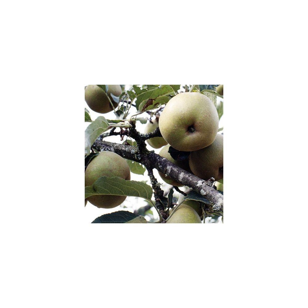 pommier 39 reinette grise du canada 39 taille en quenouille pot de 15 l plantes et jardins. Black Bedroom Furniture Sets. Home Design Ideas
