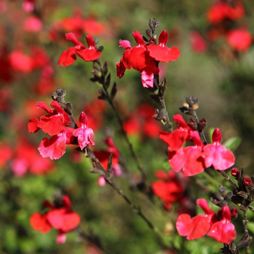 Salvia grahamii rouge plantes et jardins for Plantes et jardins adresse